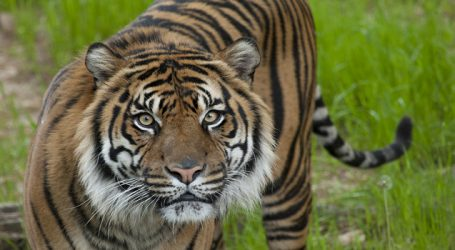 UP government to set up Tiger Protection Foundations to promote eco-tourism